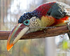 This Curl-crested Aracari is a toucan, and is 16-18 inches long.  It's a beautiful bird!