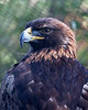 """Sierra"", a Golden Eagle.  You can find her at the  Animal Resource Center"