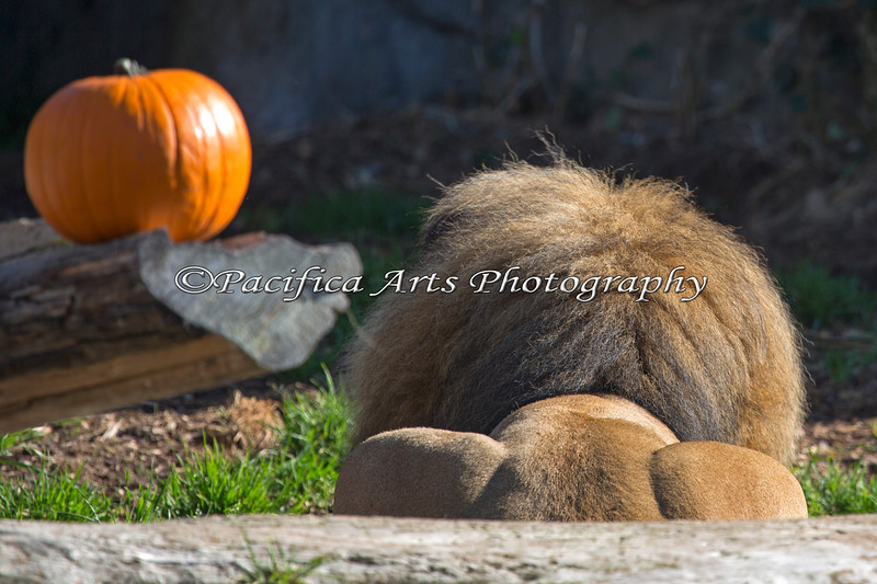 Jahari, awaits the Great Pumpkin during Boo at the Zoo!