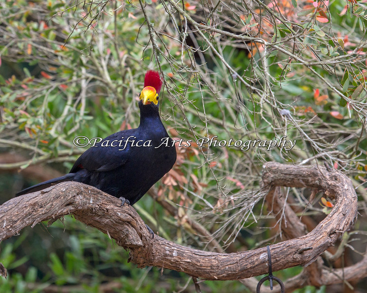 Lady Ross's Turaco