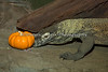 "Even the Komodo Dragon, ""Big Daddy Bahasa"" finds treats under the little pumpkins."