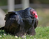 Monty, a Turkey Vulture