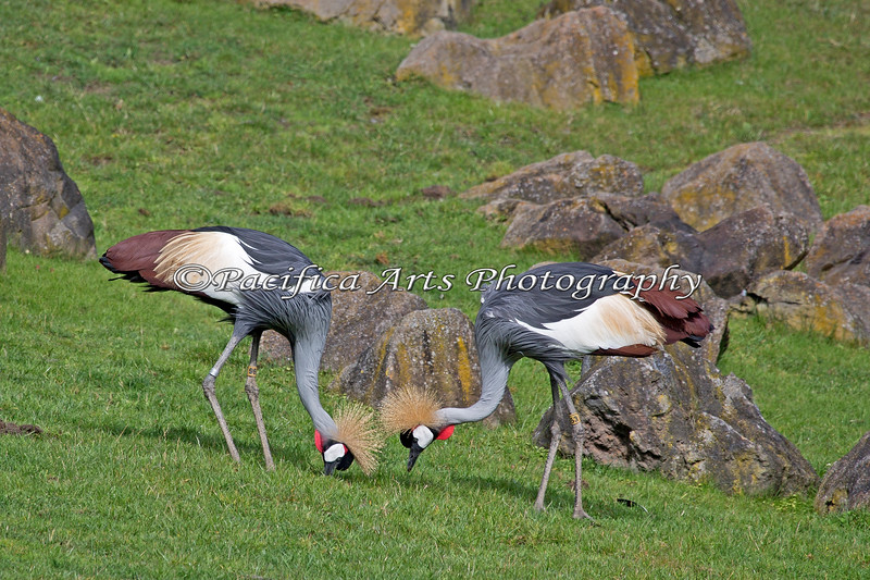 A pair of East African Crowned Cranes
