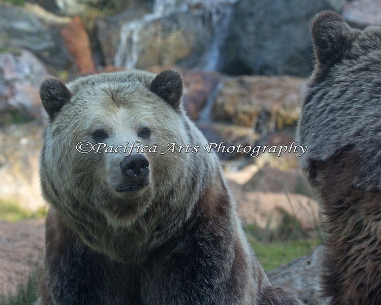 Kachina, a female Grizzly Bear, looking over at her sister, Kiona.
