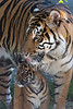 Leanne and her cub, Jillian (Sumatran Tigers)
