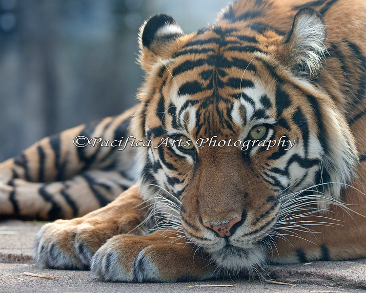 Leanne.  She's a beauty! (Sumatran Tiger)