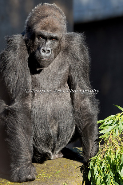 Zura, a female Gorilla, taking it easy.
