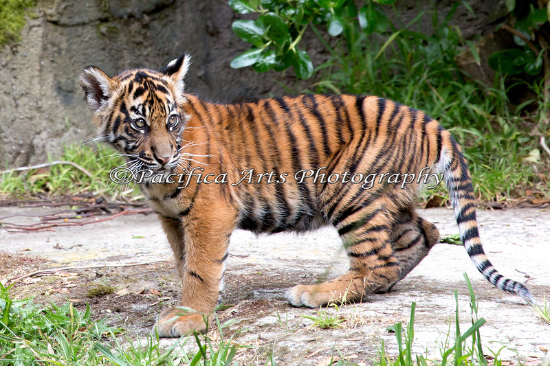 Jillian is about 3 months old here, and growing fast! (Sumatran Tiger)
