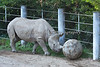 "Black Rhinoceros, ""Boone"" loves his ball, and pushes it all around his yard."