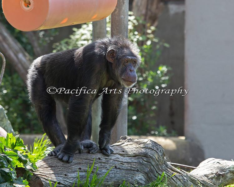 Chimpanzee - Minnie
