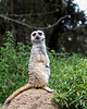 Meerkat keeping watch