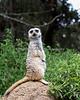 Meerkat keeping watch