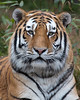 Here's the new male Siberian/Amur Tiger - what a beautiful face!