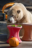 """Pumpkins are nice, but I really love my salad!""  (Polar Bear, Uulu)"