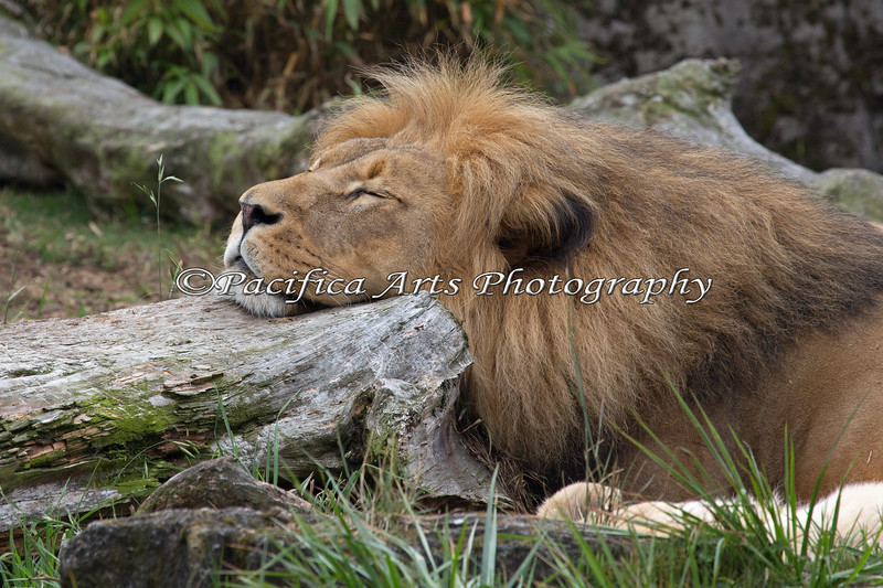 Jahari has found the perfect head rest. (African Lion)