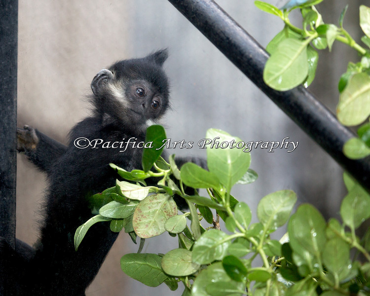 Francois' Langur, Romo, checking out the fresh foliage.