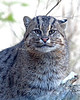 Fishing Cat with one ear forward, and one ear back - surround hearing!