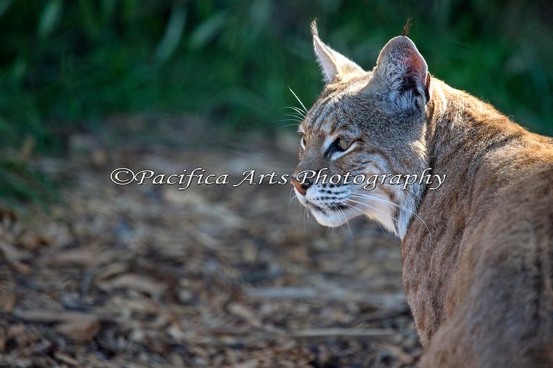 "Portrait of ""Inti""   (Bobcat)"