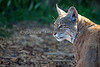 "Portrait of ""Inti""   (Bobcat)"