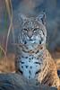 Inti, the Bobcat