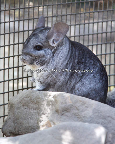 """This little Chinchilla, """"Wasabi"""", is a Nature Trail Veteran."""
