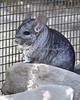 "This little Chinchilla, ""Wasabi"", is a Nature Trail Veteran."