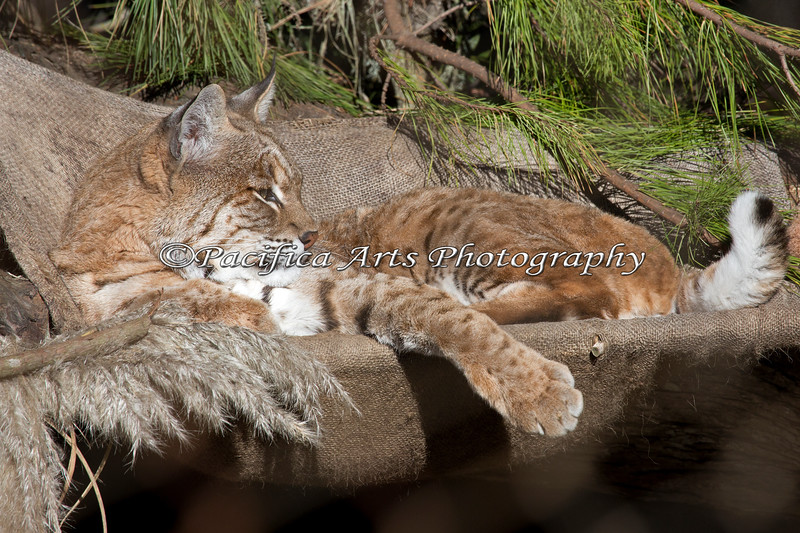 The only thing moving on Inti in this photo was his tail flicking back and forth. (Bobcat)