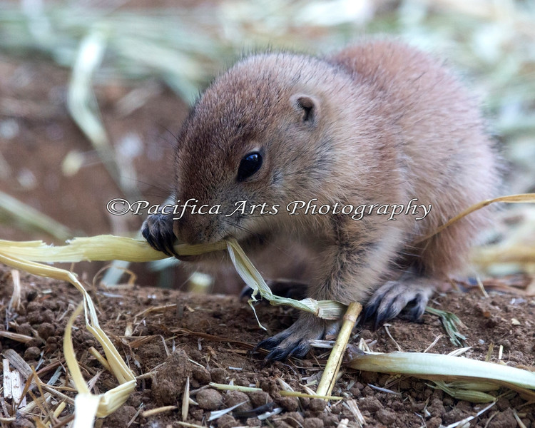 One of the several baby Black-tailed Prairie Dogs born this year.