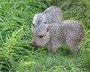 Chacoan Peccary pups in some nice, fresh grass.