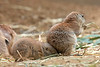 """The perfect seat""  (Black-tailed Prairie Dog)"