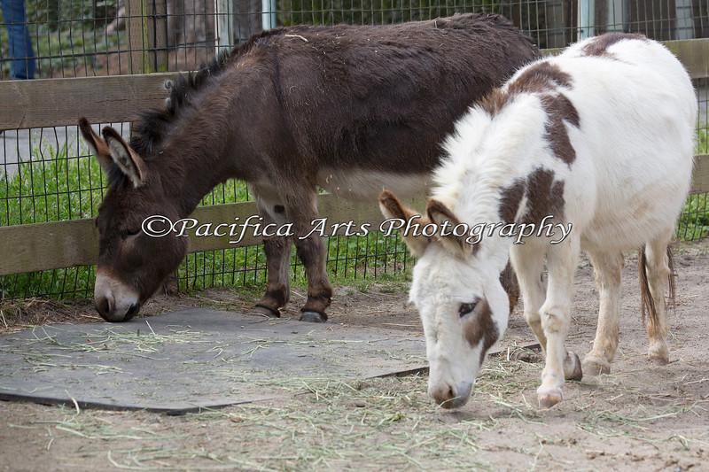 Mediterranean Donkeys, Pablo & Luna