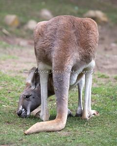 Red Kangaroo (SFZoo)