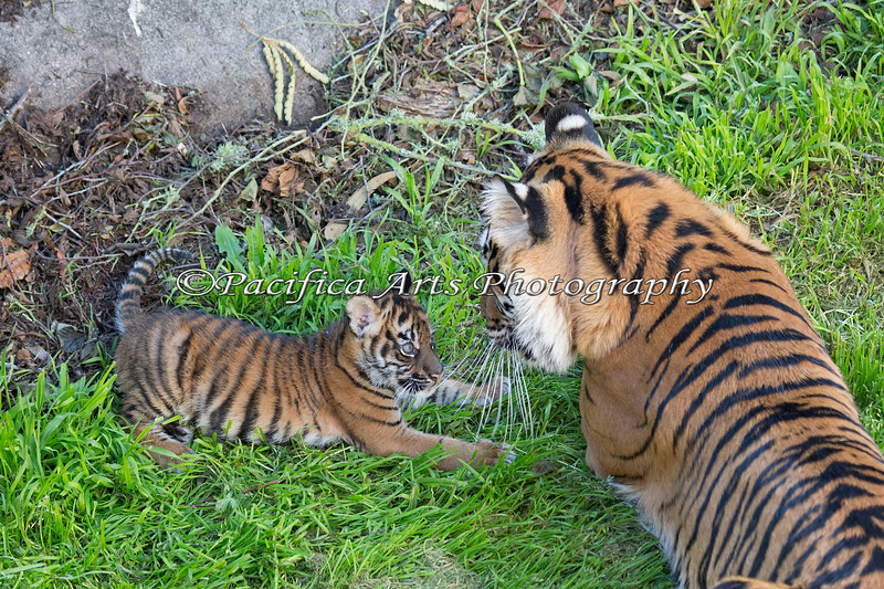 """Come on Mom, let's PLAY!""  (Sumatran Tiger, Jillian & Leanne)"
