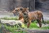 Tiger, Sumatran - Cub - Jillian & Leanne