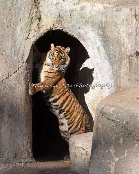 """The Gate Keeper""  (Jillian, a 9 month old Sumatran Tiger)"