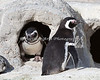 """Knock, knock.  Who's there?"" (Magellanic Penguins)"