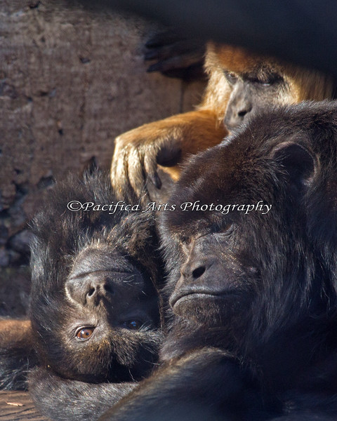 Black Howler Monkey family, Bosco (bottom right), Lincecum (top) and little brother, Bumba (left).
