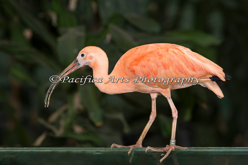 Scarlet Ibis, walking over the turtle exhibit.