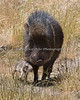 Baby leans into Mom, as they walk along. (Chacoan Peccary)