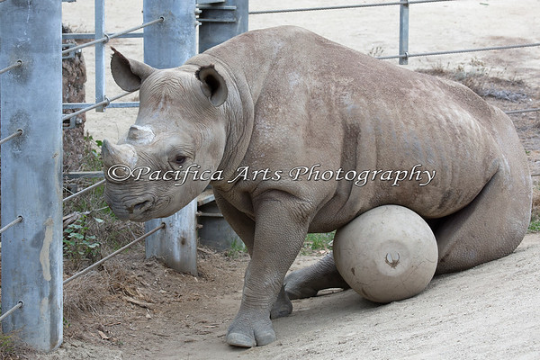 After Boone pushes his toy around the yard, he finds that it provides good midrift support! (Black Rhinoceros)