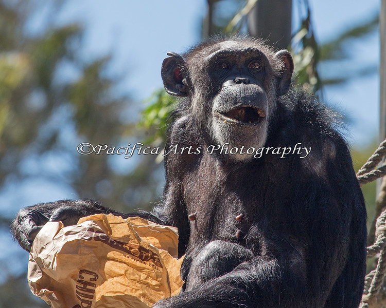 Chimpanzee, Maggie, finds treats in her bag.