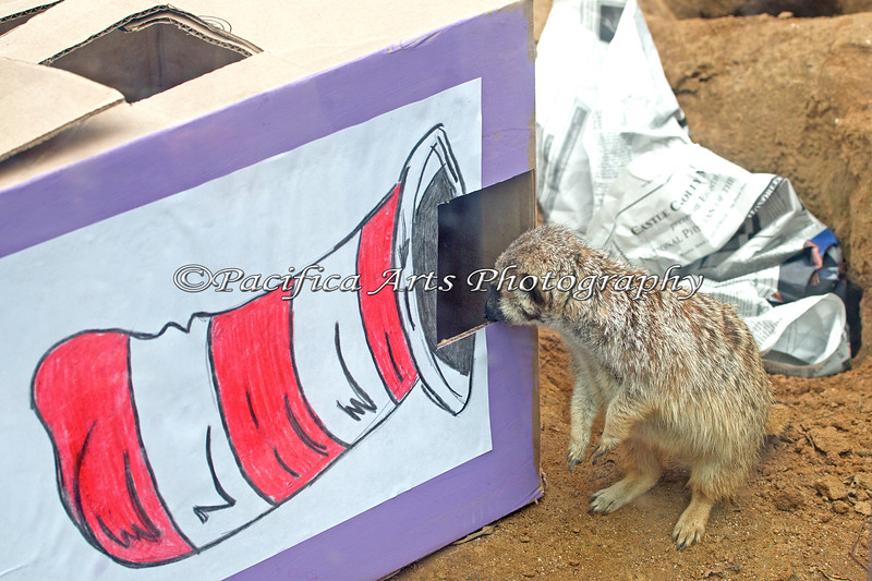 "During the ""Cat in the Hat"" event, ALL of the cats were given enrichment - even the Meerkats!"