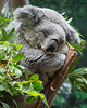 Koala - oh so sleepy!