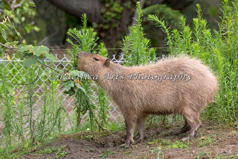 Capybara has found something yummy!