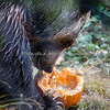 """Pumpkin seeds!  Yum!!!""  (Grizzly Bear)"