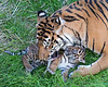Mom, not another BATH!  (Sumatran Tiger Leanne & Jillian)