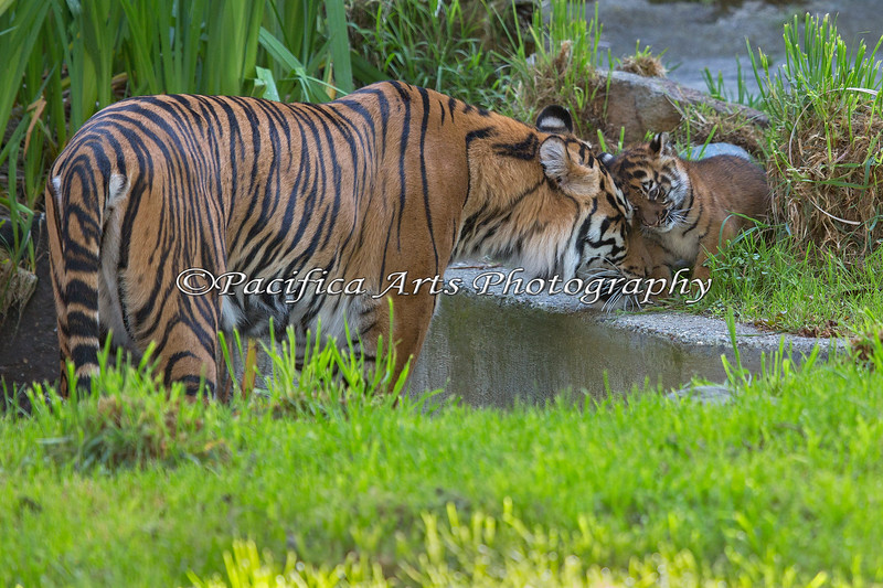 Leanne, a Sumatran Tiger, greets her cub, Jillian at the edge of the pool.