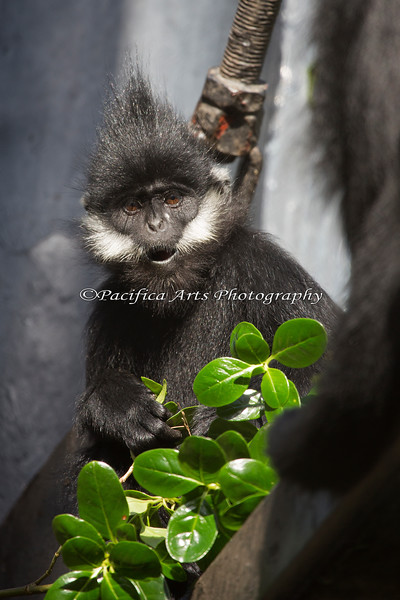Francois' Langur Leaf Monkey munching on a snack of leaves.