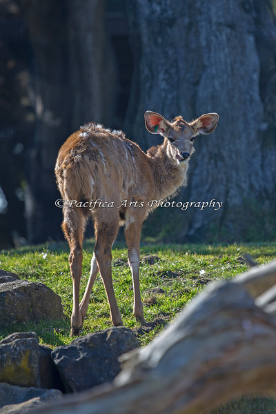 This baby Greater Kudu has not quite grown into her long legs yet.