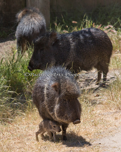 There's a new addition in the Chacoan Peccary exhibit!
